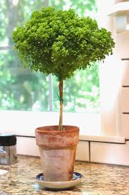 Topiaries Plants - greek basil topiary gardens plants and container gardening