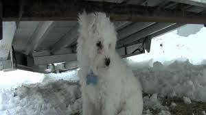 bichon frise 4 months old bichon frise puppy 10 weeks old playing in snow for first time