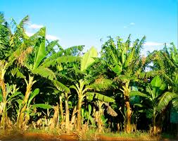 banana plantation wikipedia