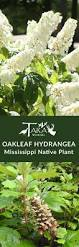native plants and wildlife gardens 34 best mississippi native plants images on pinterest native