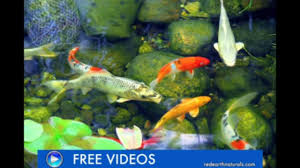 backyard koi pond care fall maintenance suggestions video