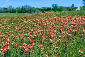 indian paintbrush flower field of bright orange indian paintbrush stock photo