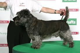 affenpinscher crufts 2014 abiqua wild casinoroyale soft coated wheaten terrier dog shows