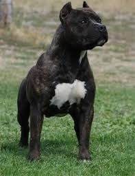 american pitbull terrier types american staffordshire terrier dog breed information and pictures