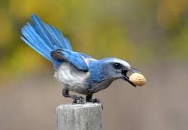 test the smarts of your backyard jays by hiding peanuts audubon