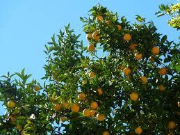orange tree trunk free pictures on pixabay