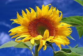 are sunflowers poisonous