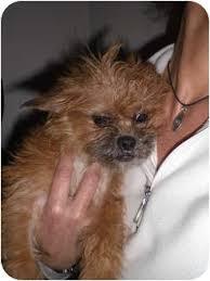 affenpinscher breeders texas roxi adopted puppy rescue ca affenpinscher mix