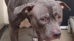 Seeking Pitbull Episode Pit Bull Who Abandoned By Owners Finds New Home Daily Mail