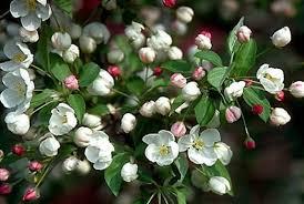 Profusion Flowering Crabapple - snowdrift crabapple u2013 hoette farms u0026 nursery