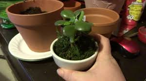 transferring a jade plant from a small pot to a larger plant youtube