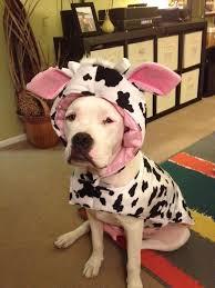 the 25 best bulldog halloween costumes ideas on pinterest