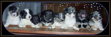 australian shepherd dog for sale willow aussie miniature toy australian shepherds for sale mini