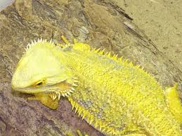 bearded dragon clipart yellow spotted pencil color