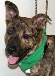 belgian sheepdog on petfinder adopt nola on dog animal and adoption