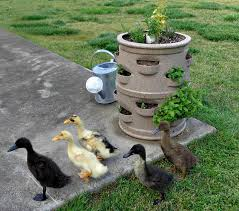 Can You Have Chickens In Your Backyard 7 Reasons To Choose Ducks Over Chickens Hobby Farms