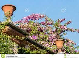 climbing plants in italian garden stock photo image 60822632