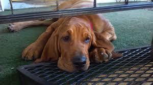 loving red drool dog loyal bloodhound bojangles pet loves