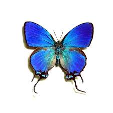 butterfly gifts framed thecla coronata blue the crowned hairstreak real