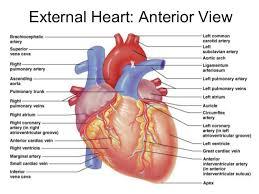 Heart Anatomy Arteries Heart Anatomy Written Copy