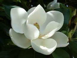 magnolia flowers 10 impressive benefits of magnolia organic facts