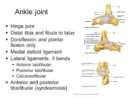 Talus Ligaments Joints Ppt Video Online Download
