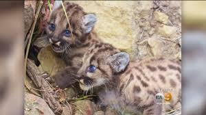 Baby Stores In Los Angeles Area 2 Adorable Baby Mountain Lions Discovered Cbs Los Angeles