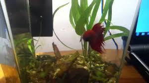 Betta Fish Vase With Bamboo Bamboo In A Fish Bowl Youtube