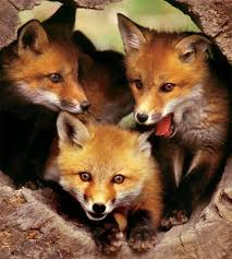 West Virginia travel fox images Best 25 baby red fox ideas baby fox pet young fox jpg