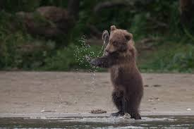 brown bear cub playing in the water rebrn com
