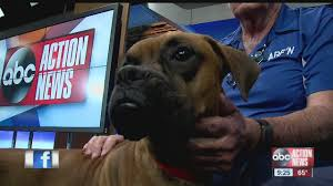 boxer dog rescue florida pet of the week zeus is a 9 month old boxer who loves to play
