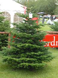 nordmann fir christmas tree merry christmas happy winter