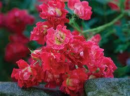drift roses drift roses plants