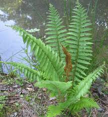 native plants of south carolina using georgia native plants ferns that work for you