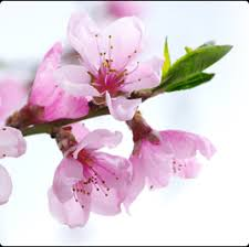 imagenes flores relajantes flores de bach un remedio natural relajante
