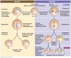Mitosis Worksheet Phases Of The Cell Cycle Mitosis Phases Animation