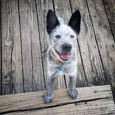 gewicht australian shepherd 7 monate 128 best dogs images on pinterest animals australian cattle dog