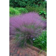 ornamental grasses garden plants flowers the home depot