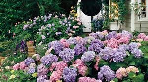 Climbing Plants That Flower All Year - the complete guide to hydrangeas southern living