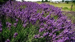 garden flowers lavender video hgtv