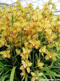 Yellow Orchid Flower Friday Yellow Orchids