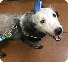 australian shepherd cattle dog mix snoop adopted dog oak ridge nj australian shepherd