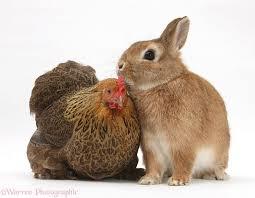 4 h chicken chat u0026 rabbit show north carolina cooperative
