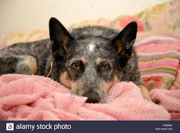 australian shepherd blue heeler a blue heeler or australian cattle dog contracted valley fever