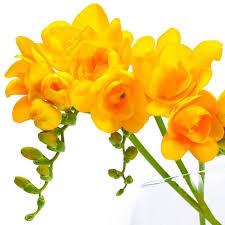buy freesia bulbs for sale u2013 easy to grow bulbs