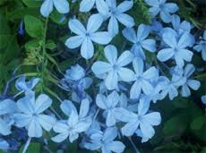 light blue flowers blue flowers for your garden and home