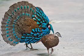 the palawan peacock pheasant ferrebeekeeper