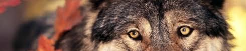 imagenes sorprendentes de lobos son los perros lobos híbridos buenas mascotas lobopedia
