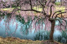 cherry blossom tree weeping cherry tree weeping cherry blossom tree in meadowlark