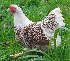 buff laced wyandotte bantam hen h chickens pinterest hens
